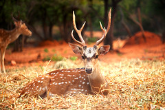 Deer .... (pamarthi_lokesh) Tags: india beautiful forest canon flickr natural central deer explore horn orrange addicts flooders 700d