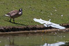 Snowy Egret lands near a Canada Goose
