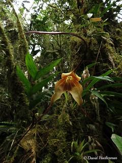 Dracula gigas floreciendo in situ en un bosque de niebla muy humedo y lleno de musgo (Distribución : Colombia y Ecuador desde 1700 hasta 2600 m snm), Carchi, Ecuador