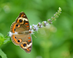 MFT_0090_8x10 (thorntm) Tags: butterfly insect buckeyebutterfly mdtpix natureandpeopleinnature t15070301