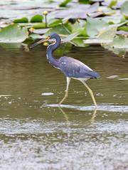 _AAA7495.jpg (Lake Worth) Tags: bird nature birds animal animals canon wings florida wildlife feathers wetlands everglades waterbirds southflorida 2xextender sigma120300f28dgoshsmsports