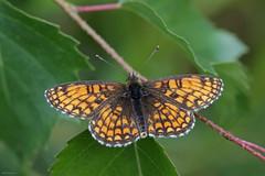 Wachtelweizen-Scheckenfalter (svensonkra26) Tags: sommer schweden falter insekt schmetterling scheckenfalter