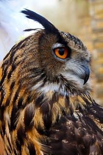 Owl-Cry