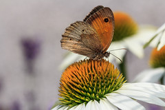 Blumenvisite (Fotos4RR) Tags: macro butterfly insect echinacea makro insekt schmetterling sonnenhut canonef100mmf28macro canonef100f28usmmacro