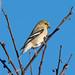 DSC_3029.jpg American Goldfinch, UCSC Farm