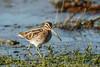 Snipe (Steve Balcombe) Tags: bird wader common snipe gallinago rspb greylake somerset levels uk