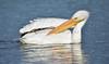 LakeChabot_123116_132 (kwongphotography) Tags: lakechabot castrovalley birds calif americanwhitepelican pelican wildlifephotography nature naturephotography wildlife unitedstates