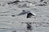 2017RiverVisit-2_03_DSC_3035 (Nomad Joe) Tags: seagull gull fishing wisconsinriver winter prairiedusac wi usa