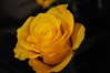 DSC_6176 Rose (PeaTJay) Tags: nikond300s sigma reading lowerearley berkshire gardens indoors nature flora fauna plants flowers rose roses rosebuds