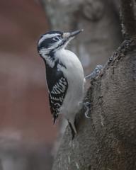 Hairy Woodpecker (female) (wplynn) Tags: marion county indianapolis castleton indiana bird birds wild hairy woodpecker female