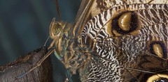 Owl Butterfly - Bananenfalter (pe_ha45) Tags: owlbutterfly caligo papillon schmetterling