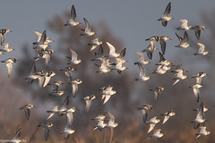 Bécasseau variable - Calidris alpina - Dunlin (patricia.hoedts) Tags: espagne catalogne aiguamolls aiguamollsdelemporda bécasseauvariable calidrisalpina dunlin bird canon canon6d sigma sigma150600contemporary