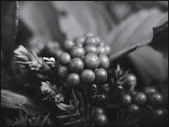 Berries in Evergreens -BW  52-52 (Firery Broome) Tags: berries beautyberries evergreen shrubbery shine shiny speckled pine needles branch leaf cellphone phonephoto iphone iphone5s externallens aukey macro closeup dof bokeh monochromebokehthursday phoneography iphoneography ipad ipaddarkroom apps snapseed vsco blackandwhite blackwhite bw monochrome nature naturelovers artofnature earthnature blackandwhitenature newark delaware universityofdelaware delawarenature 52weeks 52weeksofphotography 52 project52 image5252 365