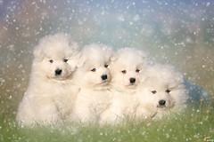 4 temibilisssssimi samoiedo :-D (LightRapsody) Tags: samoiedo cuccioli cane neve