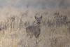 roe (colin 1957) Tags: roedeer deer fen burwell