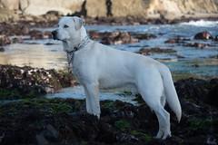 Blue the White Goberian - Nikon D750 - AFS Nikkor 28-300mm 1:3.5-5.6G VR (divewizard) Tags: nikond750 nikon d750 dslr fx afsnikkor28300mm13556g afs nikkor 28300mm 13556g vr f3556 zoomlens zoom lens 28300mmf3556gvr mendocinocounty california 90245 chrisgrossman white whitedog male blue dog goberian goldenretriever siberianhusky heterochromiairidis heterochromiairidum sectoralheterochromia blueeye browneye bluebrowneye bicoloredeyes portrait naturallight sunlight bicoloredeye perro cão chien hund tidepool tidepools kelp algae seaweed rock rocks