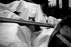 Oh no! Not you again (-Aldievel-) Tags: animal pet animali beasts italy leica blackandwhite italia cat monochrome cats molise biancoenero gatti gatto dlux3