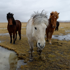 The Rock Band (Chris (will be back)) Tags: iceland islande vacation vacances travel voyage ile island chrisissy atempsperdu suðurland hiver winter outdoors nature froid cold cheval islandais icelandic horse