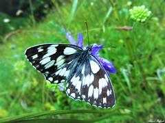 Butterfly 1142 (+450000 views!) Tags: butterfly borboleta farfalla mariposa papillon schmetterling فراشة