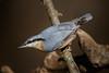 _F0A8740.jpg (Kico Lopez) Tags: galicia lugo miño sittaeuropaea spain trepadorazul aves birds rio