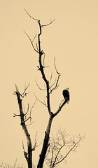 Lone Eagle (RWGrennan) Tags: lone tree dead usa bird raptor sepia monochrome mono silhouette nassau ny eagle alone newyork upstate nature wild wildlife rwgrennan rgrennan ryan grennan nikon d610 united states america bald baldeagle eastnassau east northeast ne