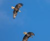 7K8A9007 (rpealit) Tags: scenery wildlife nature new york state bald eagles bird