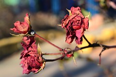Winter Roses (KaDeWeGirl) Tags: newyorkcity bronx huntspoint riverside park red dried roses flowers winter