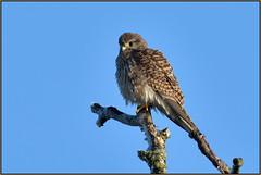 Kestrel (image 2 of 3) (Full Moon Images) Tags: woodwalton fen greatfen bcn wildlife trust nnr national nature reserve cambridgeshire bird prey birdofprey kestrel