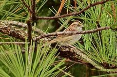 White-throated Sparrow (deanrr) Tags: morgancountyalabama alabama bird tree backyard backyardbird limb pinetree sparrow whitethroatedsparrow feathers