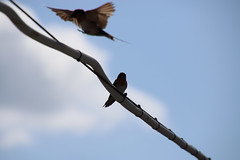 Welcome back (Paul Threlfall) Tags: welcomeswallow hirundoneoxena pair cloud bird sky wire