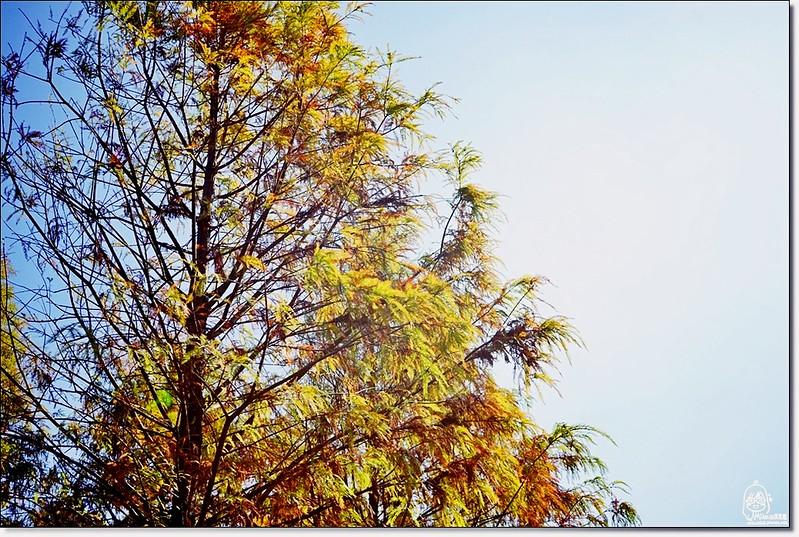 32233398335 6592be4394 c - 『台中。后里』 泰安落羽松林秘境-泰安國小旁/泰安櫻花派出所/冬日限定的那一季松紅。