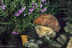 Porcino (Boletus edulis), King Bolete (paolo.gislimberti) Tags: funghiporcini sottobosco undergrowth fungi macro