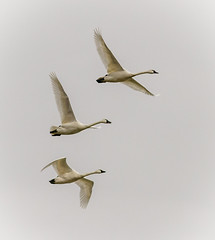Flight of Tundra Swans (tresed47) Tags: 2017 201701jan 20170116middlecreekbirds birds canon7d content folder lancastercounty middlecreek pennsylvania peterscamera petersphotos places swan takenby tundraswan us ngc