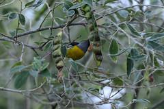 Reinita Común (Sniper PR) Tags: reinita aves comiendo naturaleza verde flores flower bird