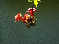 Sax (karurosuros) Tags: flowers flores pixpro campanas campanilla campsis jazmindevirginia trump campsisradicans