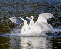 Double trouble (Terry Angus) Tags: swans two landing