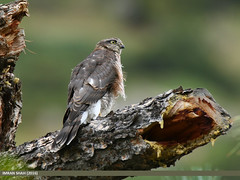 Eurasian Sparrowhawk (Accipiter nisus) (gilgit2) Tags: avifauna birds canon canoneos7dmarkii category eurasiansparrowhawkaccipiternisus fauna feathers geotagged gilgit gilgitbaltistan imranshah location naltar pakistan species tags tamron tamronsp150600mmf563divcusd wildlife wings gilgit2 accipiternisus birds08