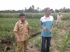 Kadis pertanian Provinsi Sumbar tinjau ladang jagung Agribisnis Kopjaskum Radio Mora sumbar