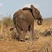 African Bush Elephant: Loxodonta africana.