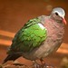 Green Winged Dove
