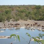 Impalas im Etoscha Nationalpark