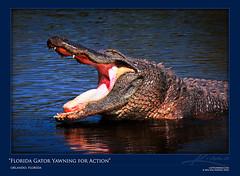 Large-Florida-Gator-Yawning-for-Some-Action-Gatorland-Orlando (ptrckwffk) Tags: water mouth orlando open florida gator teeth alligator hungry wading yawning gatorland photomatix tonemapped singleexposurehdr