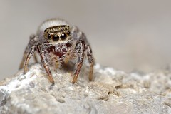 Unknown Jumper On A Rock (#1) (Doundounba) Tags: macro spider montral pentax qubec jumpingspider araigne k3 salticidae dcr250 raynox salticide vivitarseries1105mmf25macro erismilitaris parcnaturedellebizard erissp