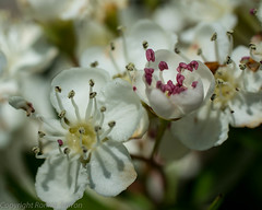 hawthorn hedge (RCB4J) Tags: flower art nature photography scotland flora blossom bloom hawthorn ayrshire mayblossom tamronspaf90mmf28dimacro11 naturethroughthelens sonyslta77v ronniebarron rcb4j