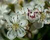 hawthorn hedge (RCB4J) Tags: flower art nature photography scotland flora blossom bloom hawthorn ayrshire mayblossom tamronspaf90mmf28dimacro11 naturethroughthelens sonyslta77v ronniebarron rcb4j