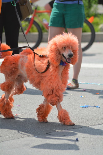 Even poodles are fabulous at Indy Pride!