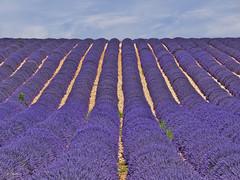 Ondulex  Lavande - Valensole - Provence (G.hostbuster (Gigi)) Tags: france lines waves provence lavande ghostbuster valensole gigi49