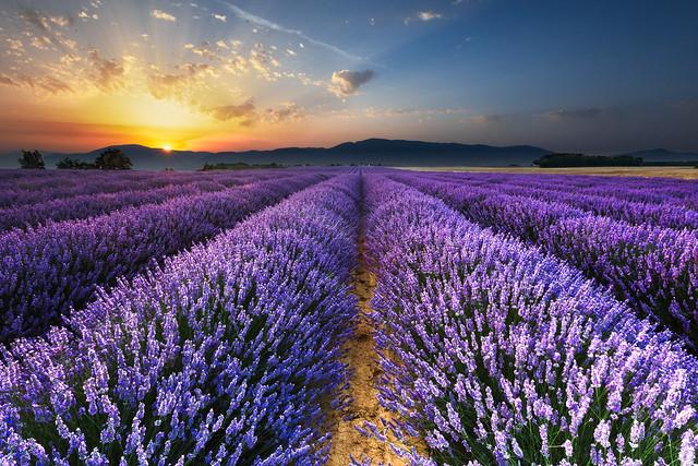 france sunrise landscape lavender provence lavande