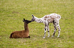 182.365.2015 ODC - Taken by surprise (Claire Plumridge) Tags: cute field animal young llama newborn surprise 365 llamas day182 foal babyanimals 365project 365daysor52weeks 2015yip 365the2015edition 3652015 115picsin2015 115picturesin2015 115in2015 2015ayearinpictures 1823652015