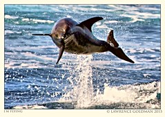 I'm Flying (lhg_11, 2million views. Thank you!) Tags: california jumping dolphin splash acrobatic marinemammals animalsinthewild cetaceans santabarbarachannel islandpackers pacificbottlenosedolphin whalewatchtrip uncapturedanimals